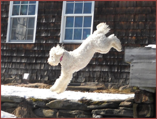dog leaping, Allie