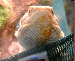 Rex, bearded dragon