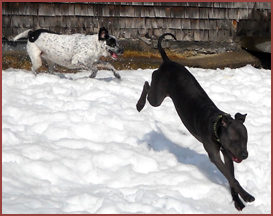 two dogs playing in snow Valentine and Boon