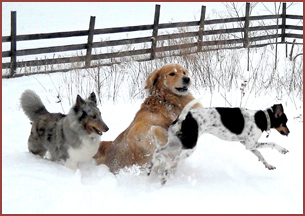 dogs playing in snow: Mya, Winston, Bella