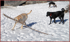 three dogs playing: Sophie dragging a branch, Oakley, Daisy sniffing ground
