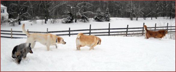 dogs playing follow-the-leader: Winston, Ranger, Betty, Mya