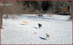 four dogs in snowy meadow: Frisbee, Aphrodite, Kobe, Essie