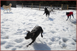 five dogs playing in snow: Aphrodite, Bubba, Valentine, Kobe, Boon