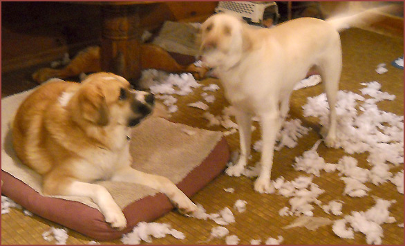 two dogs among shredded cushion stuffing: Nanuk, Sophie
