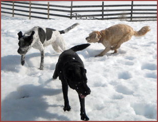 three dogs in snow: Valentine, Sweeny, Bubba