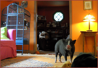 pig in living room