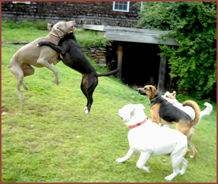 dogs leaping and playing