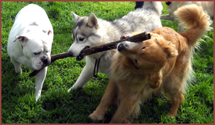 three dogs playing with stick