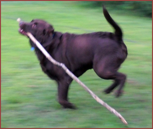 dog running with a stick