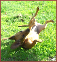 dog rolling on ground, legs in air